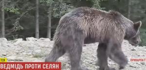 ведмідь Карпати