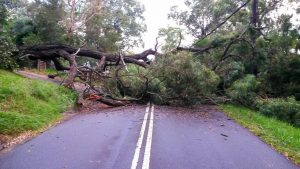 повалене дерево