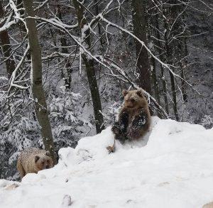 ведмідь карпати сніг