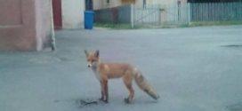 Самотня і голодна лисиця гуляла у центрі Коломиї (ФОТО)