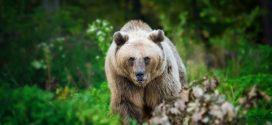 Ведмеді запрошують Ведмедів для встановлення національного рекорду