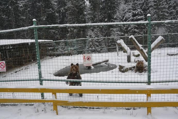 зима ведмеді