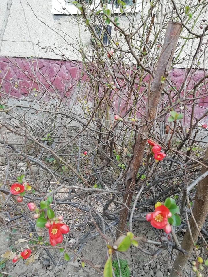 яблуня цвіте у грудні