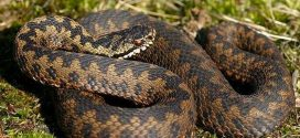 Як відрізнити отруйну змію від неотруйної