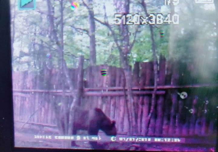 ведмеді на Прикарпатті