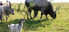 На Прикарпатті людей запрошують відпочити від стресу в компанії буйволів (ФОТО)