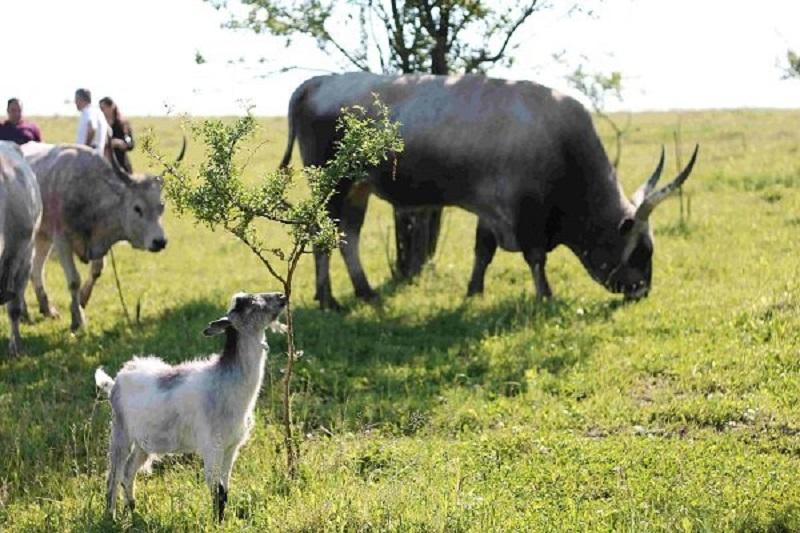 буйвіл
