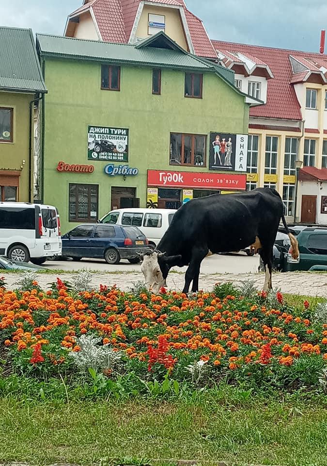 корова на клумбі, Верховина