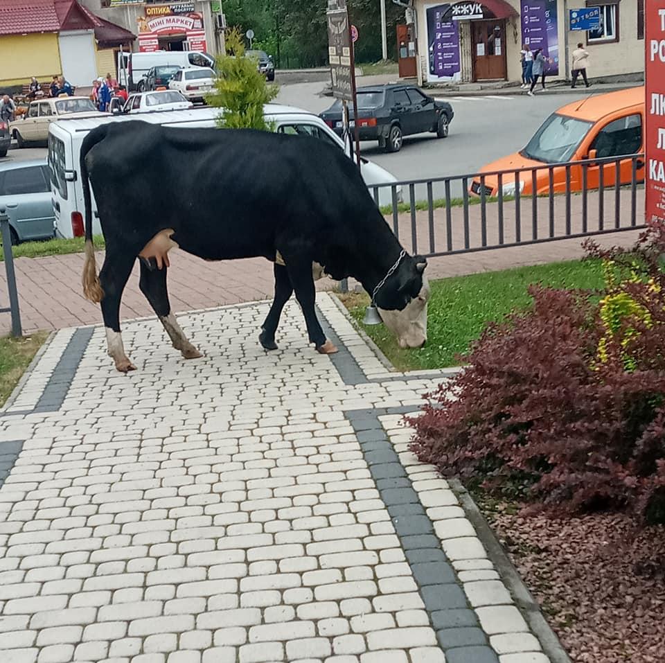 корова у центрі Верховини