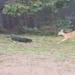оленя і собака